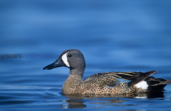 Blue-winged Teal drake on water (Anas discors), North America.