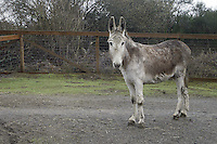 February 26, 2004 : A donkey recoups in a pen after being taken to the Bainbridge Island Animal Sanctuary.  Animals rescued or found injured are taken to this animal sanctuary until a home can be provide in Kitsap County, Washington.