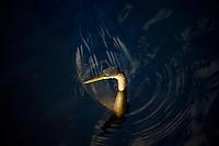 Anhinga snakebird darter, Anhinga anhinga, in river in the Everglades, Florida, United States of America