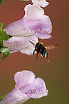 Buff Tailed Bumble Bee, Bombus terrestris, in flight, free flying through foxglove flowers, high speed photographic technique.United Kingdom....