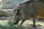 wart hog eating