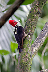 Central America, Costa Rica, Manuel Antonio. Pale-billed Woodpecker (male).