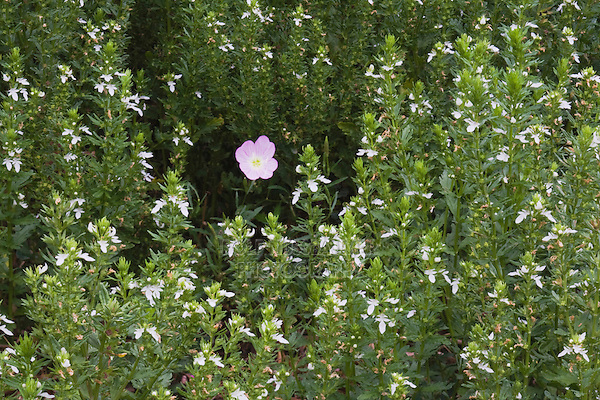 Showy Primrose (Oenothera speciosa) among Pink Mint (Stachys drummondii), Rio Grande Valley,Texas, USA