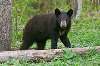 Black Bear cub standing near the edge of a forest