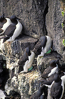Common murres with eggs, St. Paul Island, Pribilof Islands, Alaska.