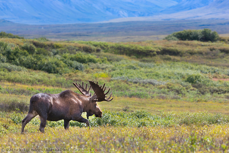 Large bull moose in velvet antlers walks across the open tundra vegetation of dwarf birch, willows and alders in Denali National Park, interior, Alaska.