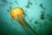 Sea Nettle (Chrysaora fuscescens) jelly swarm.