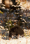 A black bear cub walks in the snow, in Yellostone National Park.   Photo by Gus Curtis.