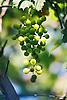 unripe green wine grapes<br /> <br /> uvas verdes<br /> <br /> unreife gr&uuml;ne Trauben<br /> <br /> 1840 x 1232 px<br /> 150 dpi: 31,16 x 20,86 cm<br /> 300 dpi: 15,58 x 10,43 cm<br /> Original: 35 mm