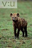 A baby Spotted Hyeana ,Crocuta crocuta, Masai Mara National Reserve, Kenya