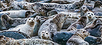 Harbor seals, Puget Sound, Washington, USA