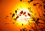 A flock of carmine bee-eaters is silhouetted against the sun, Okavango Delta, Botswana