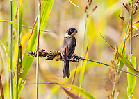 White-Collared Seedeater, Teacapan, Mexico