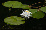 The black waters of Anishinabi Lake contrast with the singular beauty of a white water lily in Western Ontario, Canada.
