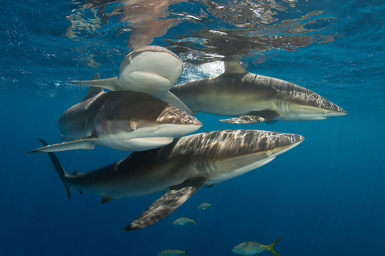 Silky shark: Carcharhinus falciformis, swimming near the surface, Jardine de la Reina ( Gardens of the Queen ), Cuba