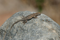 442000006 a wild male nevada side-blotched lizard uta stansburiana nevadensis perches on a rock ear eureka dunes inyo county california united states