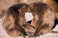 Gelada females (Theropithecus gelada) sleeping, Simien Mountains National Park, Ethiopia.