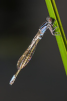 Lilypad Forktail (Ischnura kellicotti) Damselfly - Teneral Male, Promised Land State Park, Greentown, Pike County, Pennsylvania