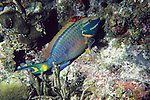 Princess Parrotfish