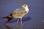 Immature Ring-billed Gull