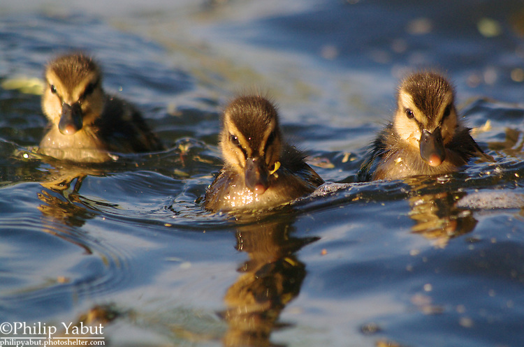 Mallard ducklings (Anas platyrhynchos) face the camera.