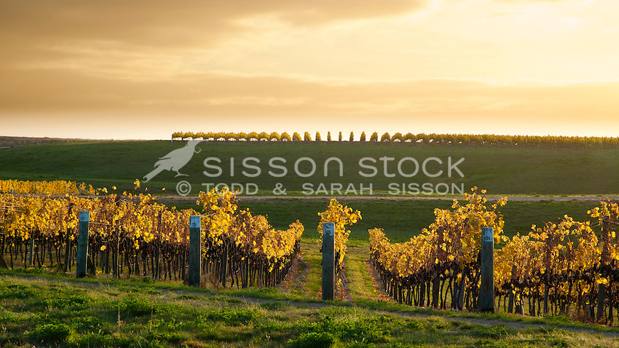 Sunrise over vines near harvest, between Alexandra and Clyde, Central Otago, South Island, New Zealand.