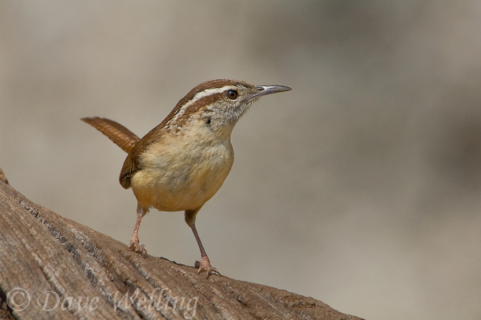 598080003 a wild carolina wren thyothurus ludovicianus perches on a dead tree stump in the hill country of central texas