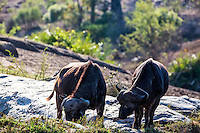 Cape Buffalo grazing the bushveld South Africa's Kruger National Park.