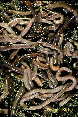 1Y01-039e  Earthworm - mass of nightcrawlers - Lumbricus terrestris