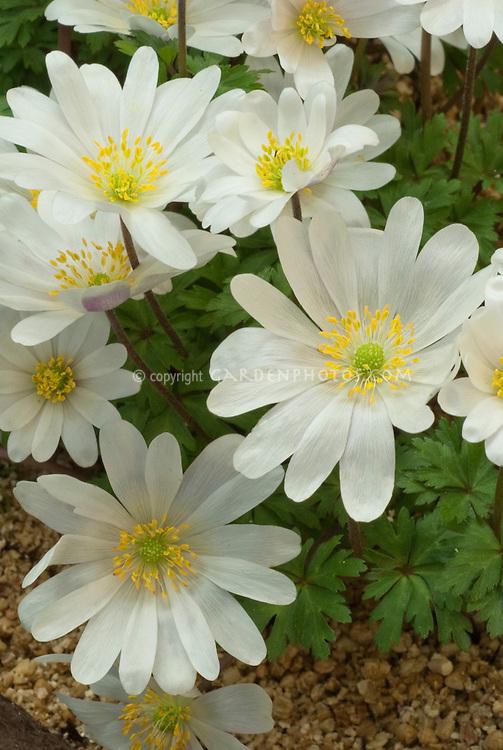 Anemone blanda 'White Splendour' (AGM)