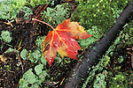 Autumn red maple leaf (Acer rubrum) and moss, fall, Hanging Rock State Park, North Carolina