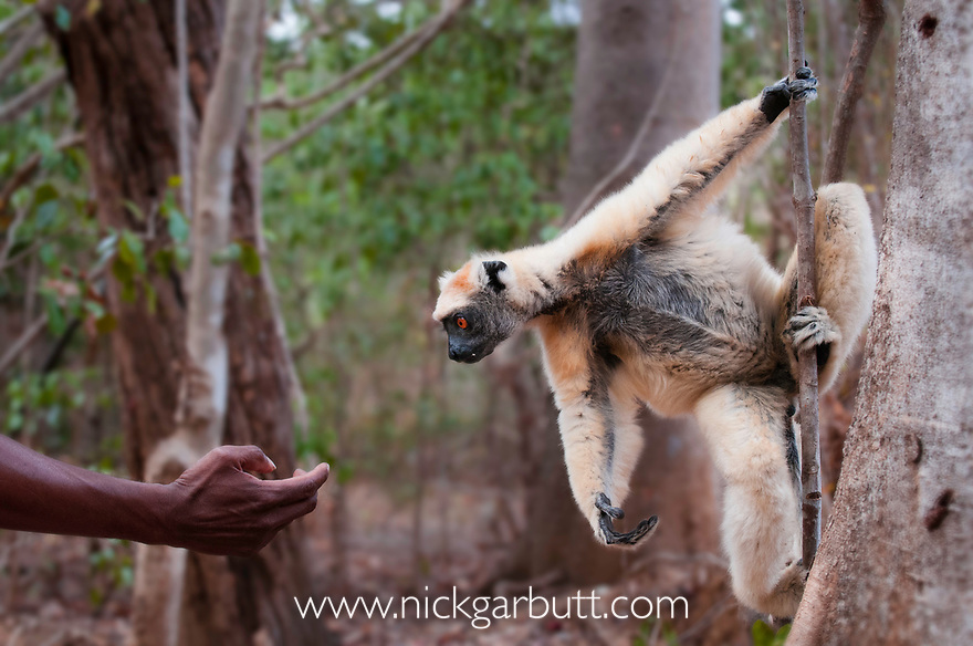 Golden-crowned Sifaka (Propithecus tattersalli) investigating a hand. Forests adjacent to the village of Andranotsimaty, near Daraina, northern Madagascar. (Critically Endangered)