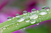 Water droplets on grass blade, Prince William Sound, Alaska