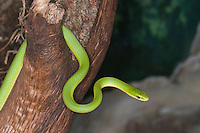 Rough Green Snake (Opheodrys aestivus), Texas, USA