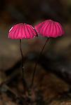Fungi, Pink Agarics, Marasmius haematocephalus, Hacienda Baru, Costa Rica, tropical jungle, red mushroom, .Central America....