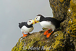 """Horned Puffins (Fratercula corniculata) pair interacting by touching bills (""""billing"""") while perched on cliff ledge, St. Paul Island, Pribilofs, Alaska, USA."""