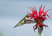 Male Ruby throated Hummingbird in flight at Red Bee Balm Flower, wings are forward