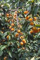 Apricots 'Golden Sweet' Prunus armeniacum growing on fruit tree