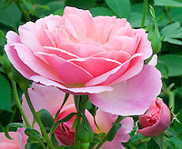Rosa 'Hyde Hall' (Ausbosky)  English Rose pink