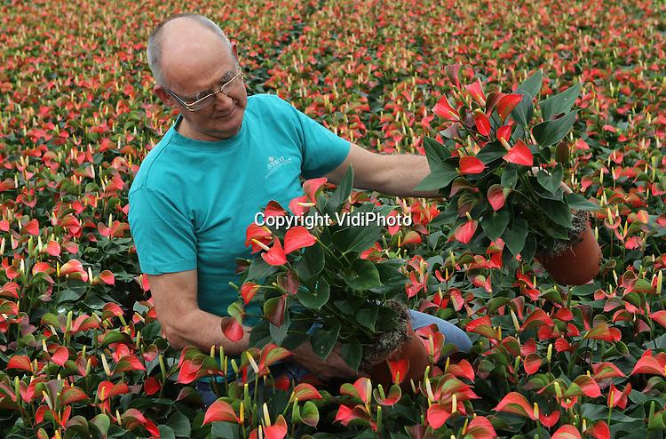 Foto: VidiPhoto..RESSEN - Anthuriumkweker Jan van Gellecum uit Ressen in de Betuwe oogst voor het eerst een nieuwe anthurium, een zogenoemde pathio-anthurium. De gloednieuwe buitenanturium is met name bedoeld voor tuinliefhebbers. De plant bloeit tot oktober. De kweker verwacht veel van het nieuwe, stevige produkt, omdat de plant tot een temperatuur van 10 graden Celsius buiten kan blijven staan.