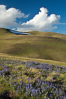 Lupines in bloom in Shoshone National Forest Wyoming