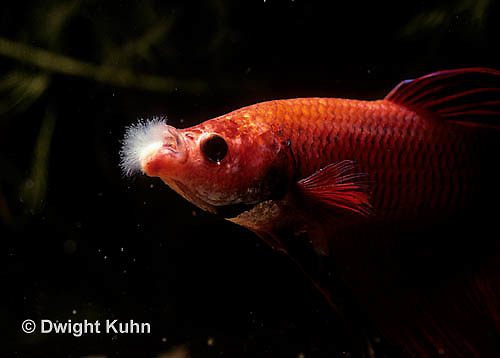 By11 kuhn photo for Cotton wool disease in fish