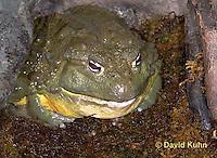 "1216-07vv  Gigantic African Bullfrog ""Pixie frog"" - Pyxicephalus adspersus - © David Kuhn/Dwight Kuhn Photography."