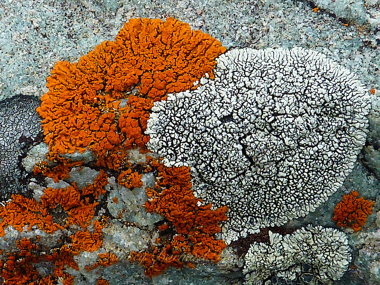 Macro look at orange and green lichen growing on a boulder.