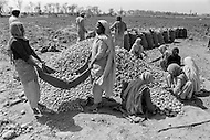 1970, Punjab, India --- Farmers harvest potatoes in the Punjab. --- Image by © JP Laffont