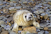 Gray Seal pup (Halichoerus grypus), Orkney Islands, Scotland, UK.
