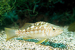 San Clemente Island, California; Kelp Bass (Paralabrax clathratus) , Copyright © Matthew Meier, matthewmeierphoto.com All Rights Reserved