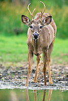 625350006 a young wild whitetail deer buck odocoileus virginianus drinks at a small waterhole in rio grande valley texas