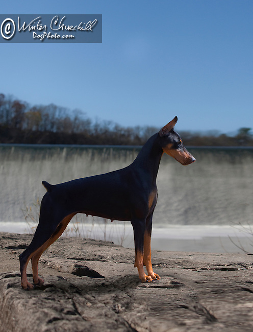 Doberman Pinscher Shopping cart has 3 Tabs:<br />