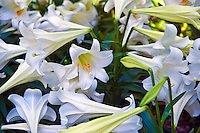 White Lilies, Botanical, Gardens, Balboa Park, San Diego, Ca High dynamic range imaging (HDRI or HDR)
